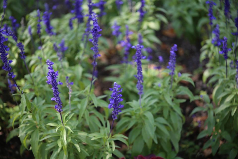 lavender-438864_960_720